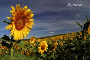 girasoles en Junio